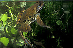 Common Frog, Rana Temporaria, UK, Adult frog underwater in pond