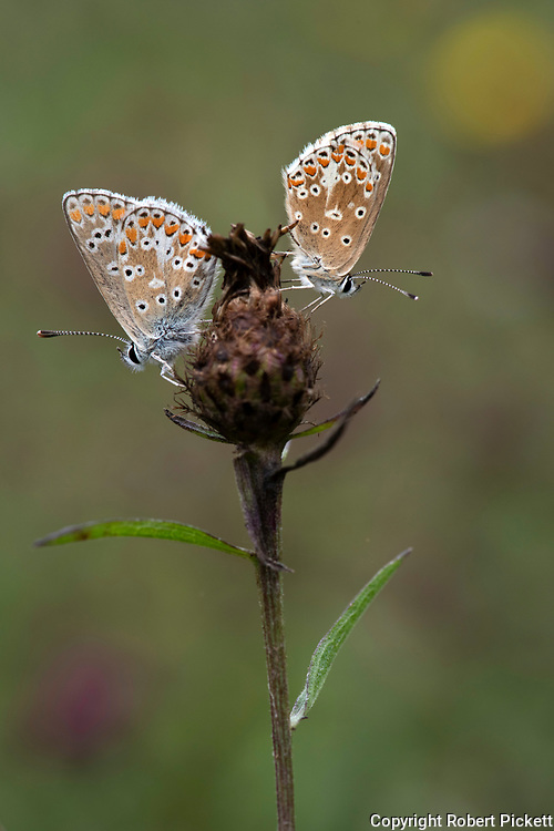 Brown Argus Butterfly, Aricia agestis,  Queensdown Warren, Kent Wildlife Trust, UK, pair together resting on flower head, two, 2