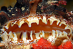 eyes of the Atlantic Thorny Oyster, Spondylus americanus