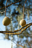 USA, California, Sonoma, walnuts pods grow on a tree near downtown Sonoma