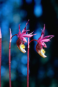 Calypso Orchids, (Calypso bulbosa) at Isle Royale National Park, Michigan.
