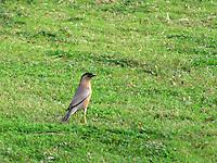 Brahminy-starling on lawn.