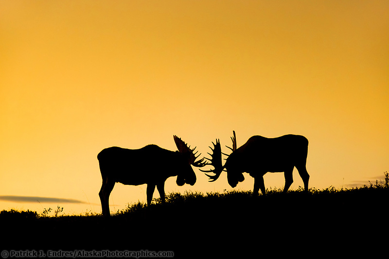 Two silhouetted bull moose spar on a mountain ridge in Denali National Park, Interior, Alaska