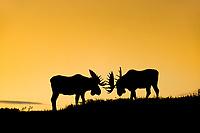 Two silhouetted bull moose spar on a mountain ridge in Denali National Park, Interior, Alaska