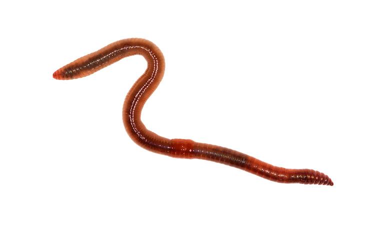 Redhead Worm - Lumbricus rubellus