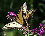 Yellow Swallowtail butterfly on purple flower, Yellow swallowtail butterflies, butterfly, Swallowtail butterflies are large, colorful butterflies that form the family Papilionidae there are over 550 species, Tropical, caterpillars possess a unique organ behind their heads called osmeterium, Fine Art Photography by Ron Bennett, Fine Art, Fine Art photography, Art Photography, Copyright RonBennettPhotography.com ©