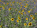 Common Sunflowers, Helianthus annuus, growing in farmers field, Kent, UK