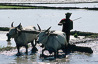 A man ploughing a rice paddy with two bullocks, near Chengalpattu, between Kanchipuram and Mahabalipuram.
