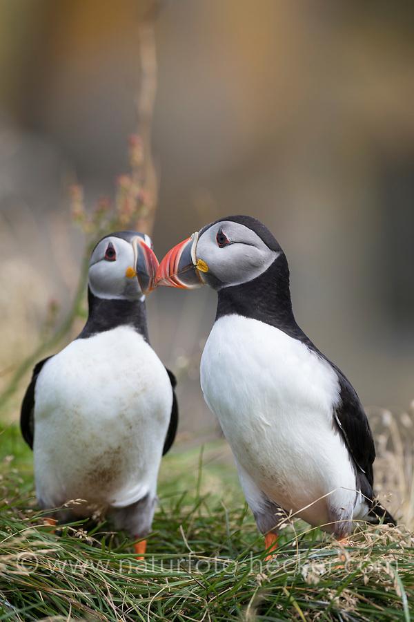 Papageitaucher, Papageientaucher, Papagei-Taucher, Fratercula arctica, Atlantic puffin, puffin, common puffin, Le Macareux moine, Vogelfels, Vogelfelsen