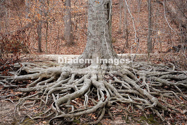 Massive exposed roots of a graffiti inscribed American Beech tree.