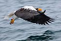Japan, Hokkaido, Steller's sea eagle flying, motion blur