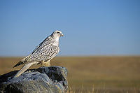 Gyrfalcon gerfalcon (Falco rusticolus) scans over the tundra.