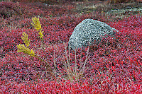 Autumn blueberry field, Maine, ME, USA