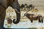 African bush elephant (Loxodonta africana), gemsbok (Oryx gazella), Springbok (Antidorcas marsupialis), Burchell's zebra (Equus quagga burchelli), Ongava Reserve, Namibia<br /> <br /> Canon EOS-1D X, EF200-400mm f/4L IS USM EXT lens, f/29 for 1/1600 second, ISO 2000