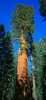 Sequoia National Park, CA  Giant Sequoia ( Sequoiadendron giganteum) known as the McKinley tree on the Congress Trail of the Giant Forest