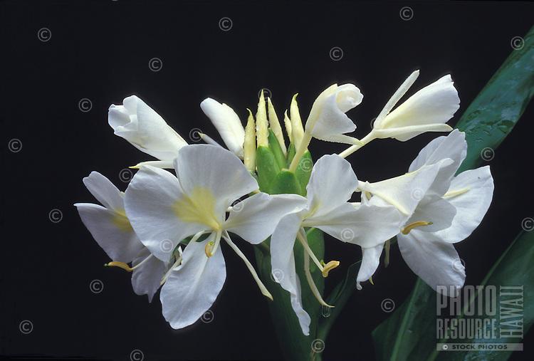 White ginger (hedychium coronarium), fragrant flower often used in lei-making
