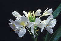 White ginger (hedychium coronarium), fragrant flower often used in lei-making