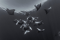 WQ1710-Dbw. Sicklefin Devil Rays (Mobula tarapacana), also called Chilean devil ray. Scuba divers come from all over the world to see these majestic creatures at Princess Alice Bank, a seamount 50 miles offshore Pico Island. Scientists are studying dozens of rays regularly seen here, thought to be one of few locations in the world where this species aggregates in large numbers. Azores, Portugal, Atlantic Ocean. Color photo converted to black and white.<br /> Photo Copyright © Brandon Cole. All rights reserved worldwide.  www.brandoncole.com