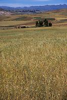 Maras, Urubamba Valley, Peru - Landscape, Wheatfield, Farmland