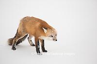 01871-02915 Red Fox (Vulpes vulpes) at Cape Churchill, Wapusk National Park, Churchill, MB