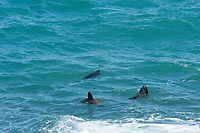 Seals playing in the waves near Victor Harbour, South Australia.