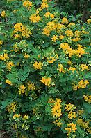 Coronilla valentina subsp glauca shrub in fragrant winter bloom