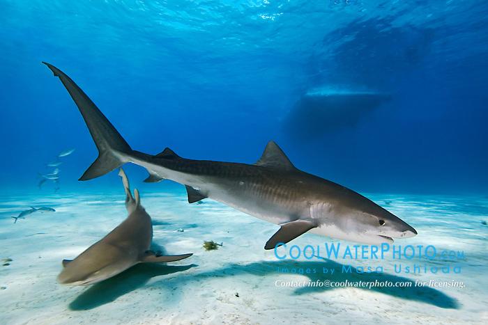 Tiger Shark, Galeocerdo cuvier, Lemon Shark, Negaprion brevirostris, and boat, West End, Grand Bahama, Atlantic Ocean