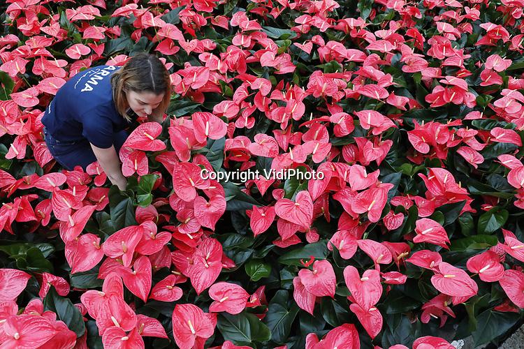 """Foto: VidiPhoto<br /> <br /> BEMMEL – Valentijnsdrukte bij Karma Plants in Bemmel dinsdag. Voor de derde en laatste week achtereen rollen er tienduizenden extra anthuriums over de band bij de kweker in kassengebied NextGarden voor Valentijnsdag, op weg naar consumenten in heel Europa. De anthurium is populairder dan ooit, vooral tijdens Valentijn en Moederdag. De plant heeft hartvormige bloemen, zuivert de lucht en is bovendien een van de langstbloeiende potplanten. Volgens woordvoerder Lydia Langelaan van Karma Plants is vooral de kleur roze razend populair dit jaar. """"Vroeger werd de anthurium gezien als oudbollig en een echte omaplant. Door nieuwe soorten, maten en kleuren is de hartplant op dit moment enorm trendy, zeker nu met Valentijn."""""""