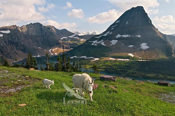 Mountain Goat (Oreamnos americanus) nanny and kid near Hidden Lake and Bearhat Mountain in Glacier National Park, Montana.  Summer.