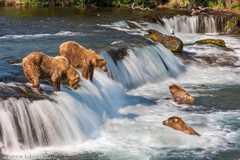 Brown bears fish for red salmon in the  Brooks River, Katmai National Park, southwest, Alaska.