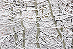 Snowy Aspen trees near Truckee, California