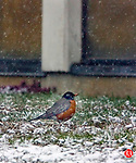 NAUGATUCK, CT 3/26/01--0326TK10.01  A light accumulation of spring snow on the ground of Naugatuck High School  leaves a Robin in search of a meal possibly questioning if the annual migration north might have started a little to soon.  . --TOM KABELKA staff photo for  STANDALONE PHOTO