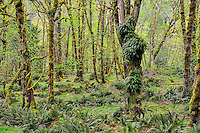 A section of rainforest in early spring, along the Elwha River, Olympic National Park, Washington State.