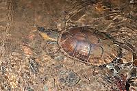 White-lipped Mud Turtle; Kinosternon leucostomum; Panama, Burbayar Lodge, Panama Prov.