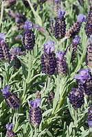 Spanish lavender Lavandula sotechas 'Anouk' in bloom