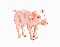 Watercolour painting of cute pink piglet