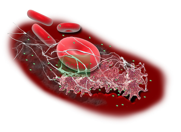 Injury to the endothelium or inner lining of a vessel activates platelets, this aggregates on the injured site and activates formation of fibrin from plasma and the fibrin traps red blood cells forming a plug. Granules in the platelet surface degranulates loosing its products which activates vasoconstriction mechanism to the injured site thus causing bleeding cessation.