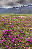 Spring wildflowers blossom (lapland rosebay, mountain avens) on the tundra in the Brooks Range, trans Alaska oil pipeline in the distance, Arctic Alaska.