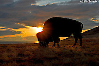 Antelope Island Bison. February 16 2012.