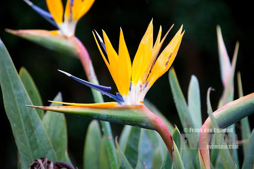 Crane Flower, Kirstenbosch National Botanical Garden,, South Africa.