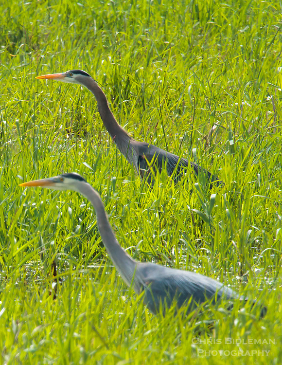 Gift card photo (set of 4) of two Great Blue Herons stalking side-by-side through the tall grass in a field at the Ridgefield National Wildlife Refuge