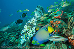A variety of tropical fish, including a Queen Angelfish, Holacanthus ciliaris, and Scrawled Filefish, Aluterus scriptus, among others, feed on the eggs of Brown Chromis, Chromis multilineata, on a coral reef offshore Palm Beach, Florida, United States.