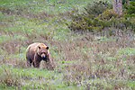 Yellowstone National Park, WY: Cinnamon bear (Ursus americanus cinnamomum) in an open meadow