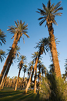 Date palms at Furnace Creek, Death Valley National Park
