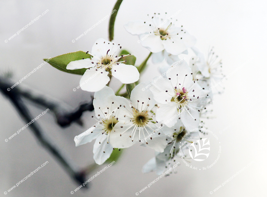 Stock photo: Bright close up of white cherry blossom flowers showing details.