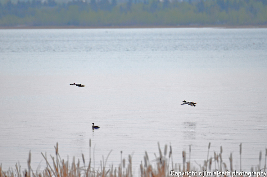 Some of the waterfowl of Gull Lake Alberta.