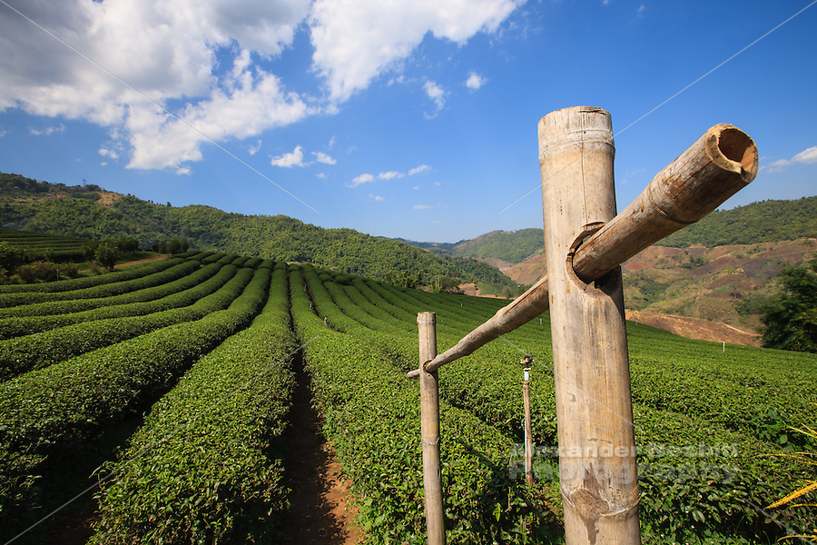 Perfect rows of tea bushes stripe the landscape in a northern Thailand tea plantation.