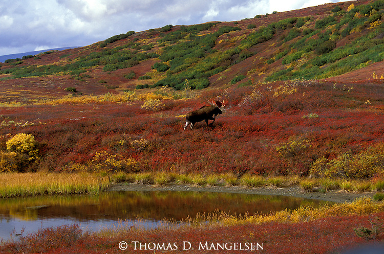 Bull Moose climbs a hill in Denali National Park, Alaska.