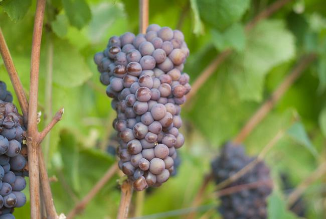 Pinot Gris grapes
