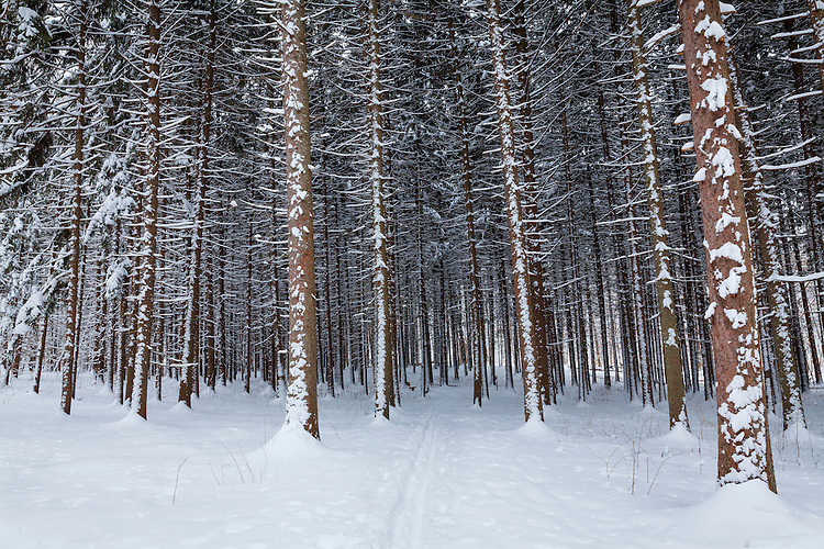 Ski trail and winter scene in the Spruce Forest at The Morton Arboretum; DuPage County, IL